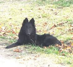 belgian sheepdog puppies for sale welcome to u003cfont size u003d