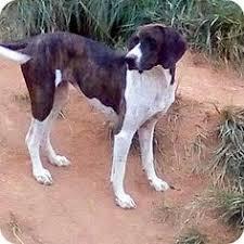 bluetick coonhound treeing waynesville nc bluetick coonhound meet blue a dog for