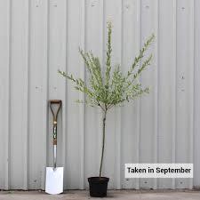 salix integra hakuro nishiki flamingo willow trees