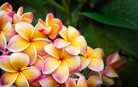 plumeria flower plumeria flower plant of the month