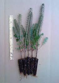 balsam fir seedlings for sale retail wholesale nursery stock