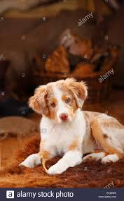 australian shepherd 11 weeks old miniature australian shepherd puppy red merle stock photos