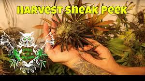 coco indoor weed garden harvest sneak peak youtube