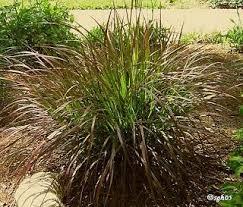 73 best ornamental grass images on ornamental grasses