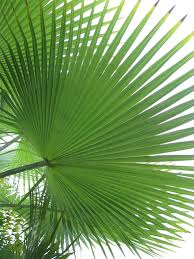 palm leaves for palm sunday palm sunday holy eucharist st george s episcopal church