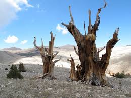 earth s oldest trees in climate induced race up the tree line