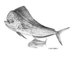 pencil art dolphin mahi mahi steve whitlock game fish art