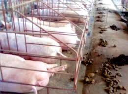the life of pigs in vietnam rescuer u0027s heart for animals