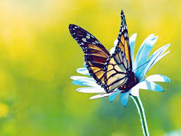 butterfly flowers pictures of butterflies and flowers similiar blule