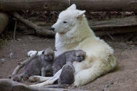 wolf zooborns