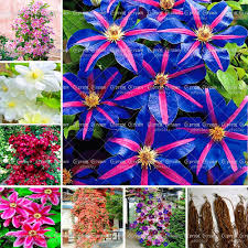 popular climbing plant with flowers buy cheap climbing plant with