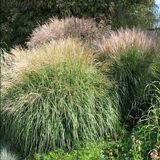 ways to split ornamental grasses wearefound home design