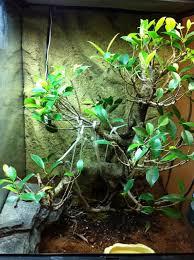 ficus bonsai terrarium with small tree boa dendroboard