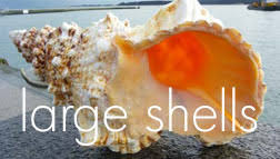 where to buy seashells large shells from dorset gifts in the uk including polished