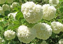 White Flowers Pictures - best 25 snowball plant ideas on pinterest hydrangea climbers