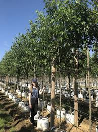 ornamental pear barcham trees