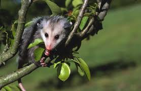 where do opossum live animals mom me