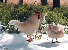 pros and cons of keeping rhode island red chickens u2014 types of chicken