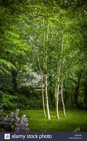 six silver birch trees in small woodland garden in cumbria uk ada