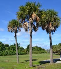 sabal palm south florida trees