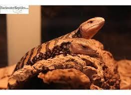 Backyard Reptiles Best Pet Vegetarian Reptiles