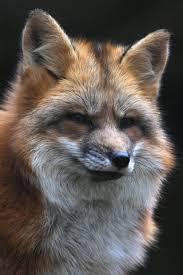 sleeping red fox wallpapers furry fox iphone wallpaper animals pinterest red fox