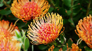 south african native plants african protea san diego zoo animals u0026 plants