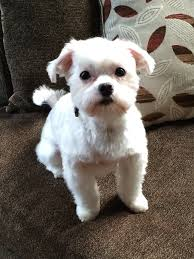 gallery for u003e maltipoo haircut pictures for the love of dogs