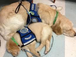 Comfort Golden 35 Best Isaiah Comfort Dog Images On Pinterest Service Dogs