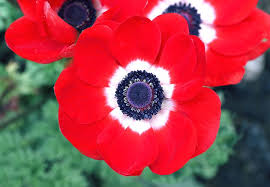 anemones flowers anemone meaning and symbolism ftd
