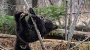 Ozzy The Grizzly Bear Picks The Eagles To Win The Super Bowl Local - black bear cubs learn to scer up trees sort of the kid should