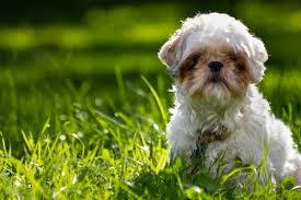 shi poo shih poo complete guide on shih tzu and poodle mix animalso