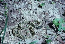 western ribbon western ribbon snake louisiana department of wildlife and fisheries