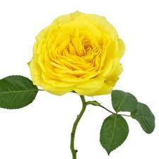 Yellow Pom Pom Flowers - pompom yellow garden rose