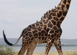 how a tiny worm is irritating the most majestic of giraffes at