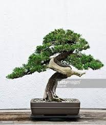 bonsai tree you can look bonsai trees for sale you can look