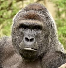 Gorilla Meme - 60 000 people now want harambe to be a pokémon why the dead gorilla
