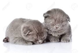 sleeping on short hair two british shorthair kittens sleeping isolated on white stock photo