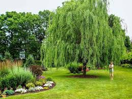 weeping willow tree the planting tree