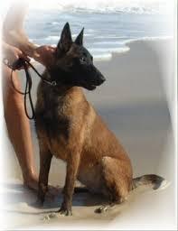 belgian sheepdog puppies texas windrush ranch u0026 kennel