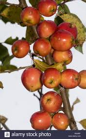 autumn fruit of the ornamental crab apple malus jelly king