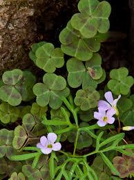 native plants and wildlife gardens kentucky native plant and wildlife plant of the week violet