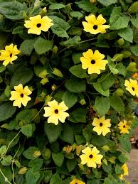 black eyed susan vine plant how to care for black eyed susan vines
