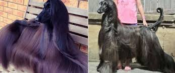 afghan hound job the internet says this afghan hound is the prettiest dog in the world
