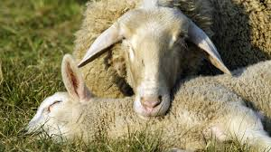eighteen sheep killed on road after being u0027panicked by dogs u0027 itv