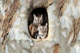eastern screech owl photo sycamore tree decor owls in tree