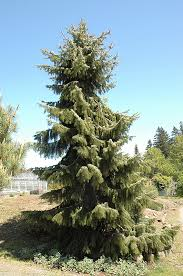 brewer s weeping spruce picea breweriana in detroit arbor