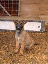 belgian sheepdog brown dogs and cats breed belgian shepherd dog laekenois puppies dogs