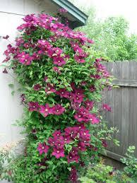 choose clematis clematis gardens and garden ideas