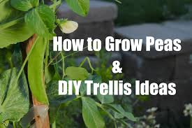 how to plant and grow peas and easy diy trellis ideas youtube